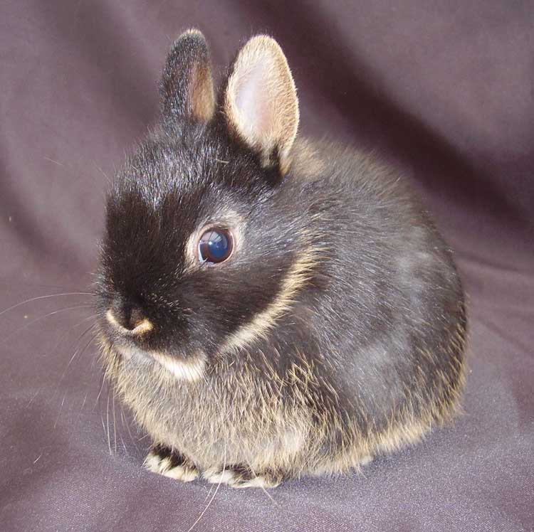 about the netherland dwarf   adorable rabbits